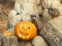 ZoomTorino_Halloween_suricati-2-RID